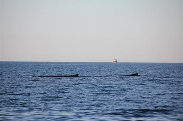 Tourism - Humpback whales in gulf